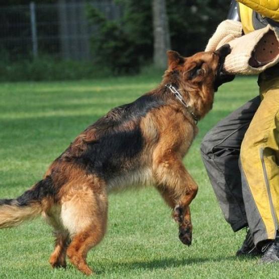 Một số thông tin cần biết về huấn luyện chó bảo vệ chủ