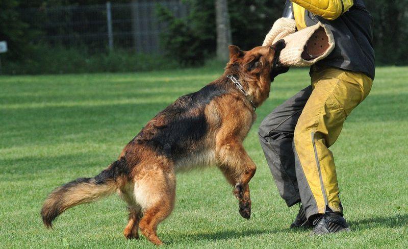 Một số thông tin cần biết v� huấn luyện chó bảo vệ chủ